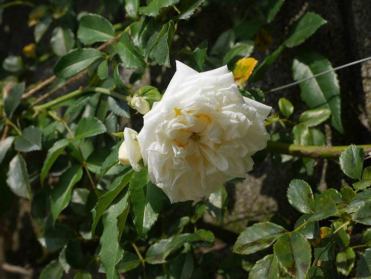 アルベリック・バルビエ(Alberic Barbier)の夏花が咲いていた。ツルバラ。2020年-004.jpg