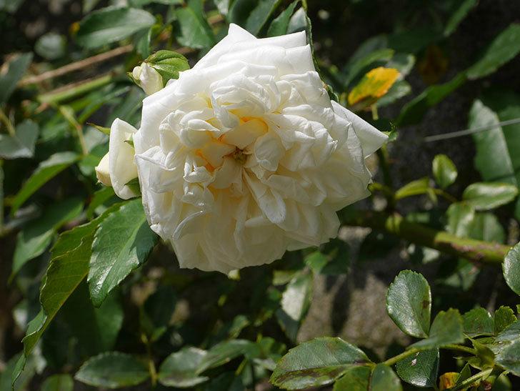 アルベリック・バルビエ(Alberic Barbier)の夏花が咲いていた。ツルバラ。2020年-005.jpg