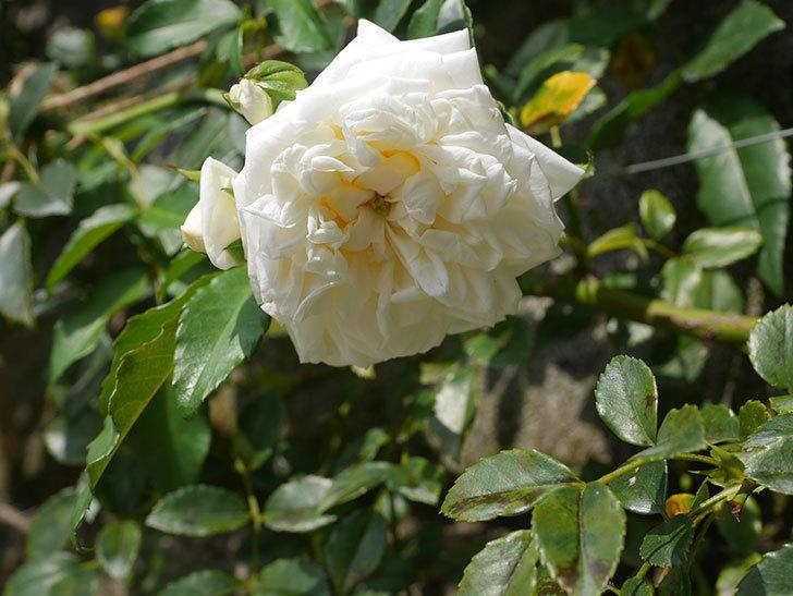 アルベリック・バルビエ(Alberic Barbier)の夏花が咲いていた。ツルバラ。2020年-006.jpg