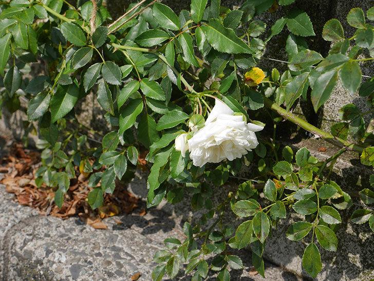 アルベリック・バルビエ(Alberic Barbier)の夏花が咲いていた。ツルバラ。2020年-007.jpg