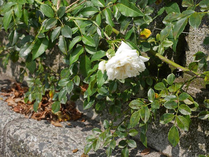 アルベリック・バルビエ(Alberic Barbier)の夏花が咲いていた。ツルバラ。2020年-008.jpg