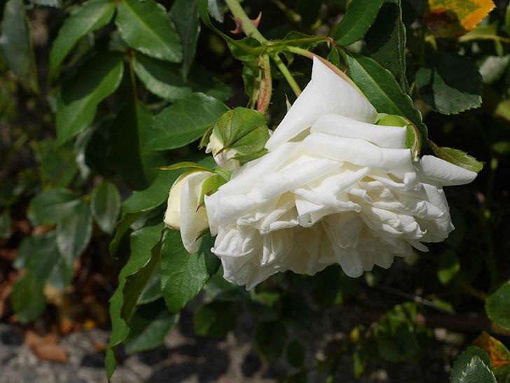 アルベリック・バルビエ(Alberic Barbier)の夏花が咲いていた。ツルバラ。2020年-009.jpg