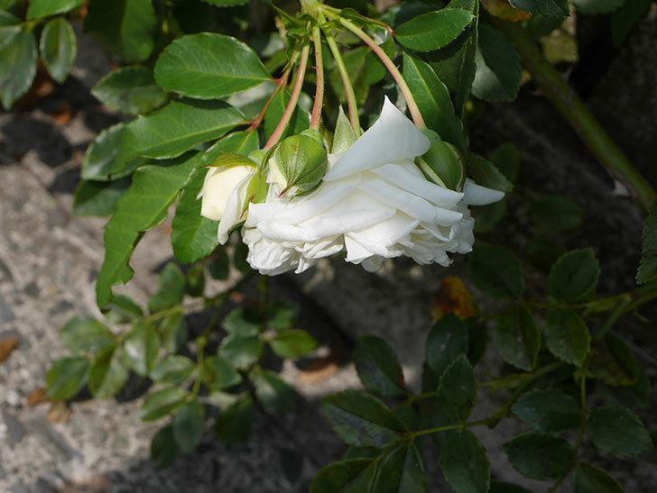 アルベリック・バルビエ(Alberic Barbier)の夏花が咲いていた。ツルバラ。2020年-010.jpg