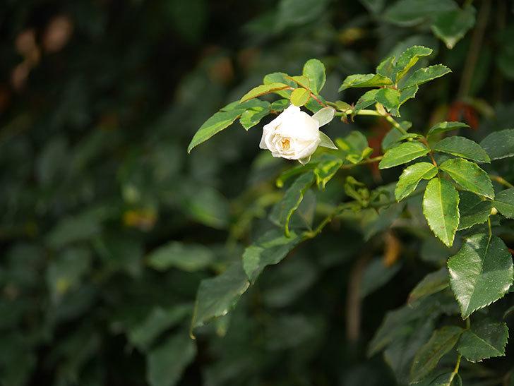 アルベリック・バルビエ(Alberic Barbier)の花が1個咲いていた。ツルバラ。2020年-001.jpg