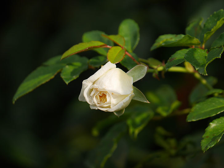 アルベリック・バルビエ(Alberic Barbier)の花が1個咲いていた。ツルバラ。2020年-002.jpg