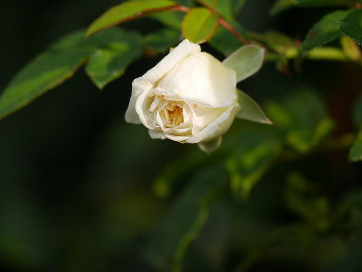 アルベリック・バルビエ(Alberic Barbier)の花が1個咲いていた。ツルバラ。2020年-003.jpg