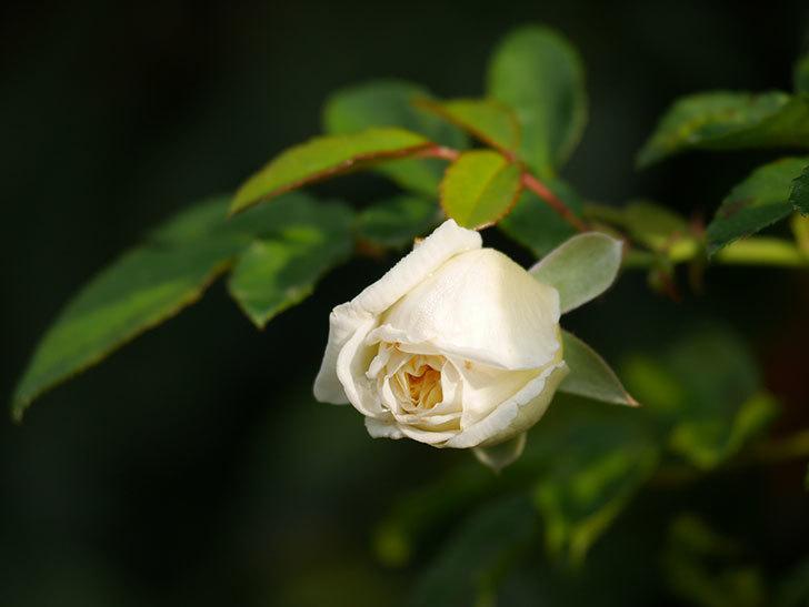 アルベリック・バルビエ(Alberic Barbier)の花が1個咲いていた。ツルバラ。2020年-004.jpg