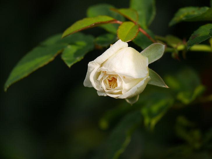 アルベリック・バルビエ(Alberic Barbier)の花が1個咲いていた。ツルバラ。2020年-005.jpg