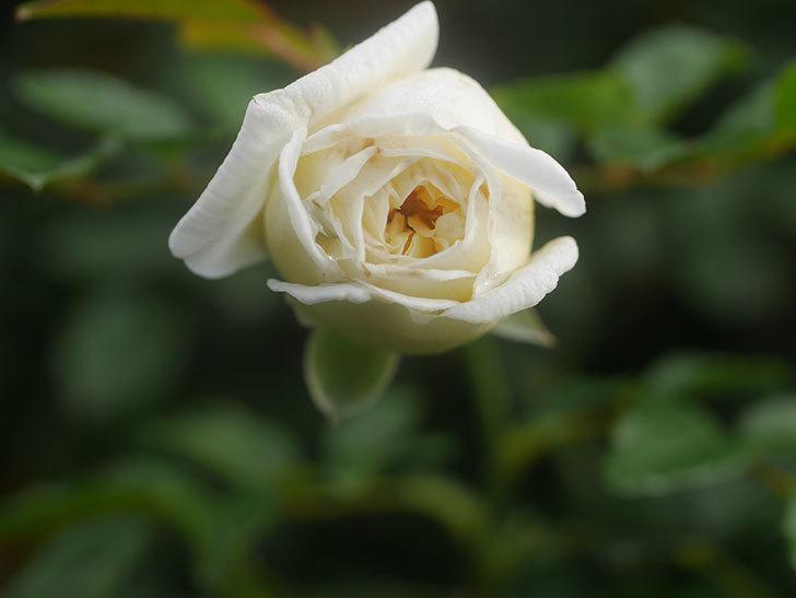 アルベリック・バルビエ(Alberic Barbier)の花が1個咲いていた。ツルバラ。2020年-007.jpg