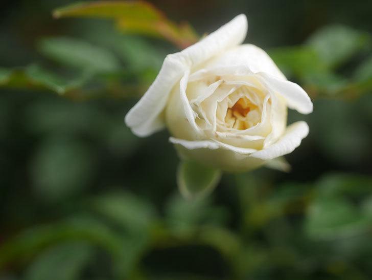 アルベリック・バルビエ(Alberic Barbier)の花が1個咲いていた。ツルバラ。2020年-008.jpg