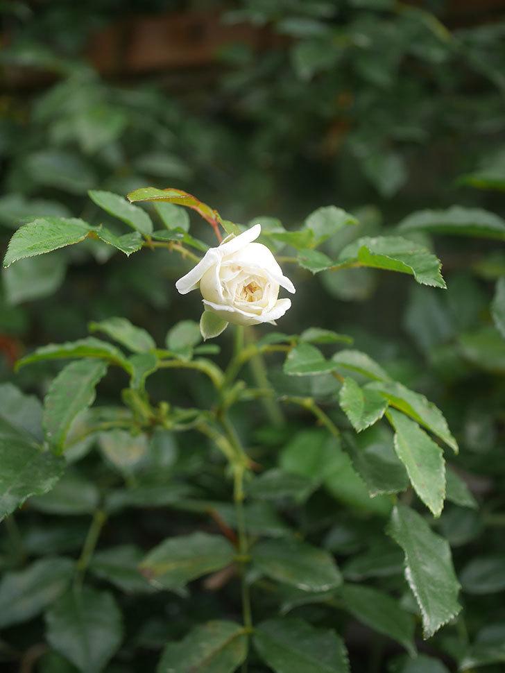 アルベリック・バルビエ(Alberic Barbier)の花が1個咲いていた。ツルバラ。2020年-009.jpg