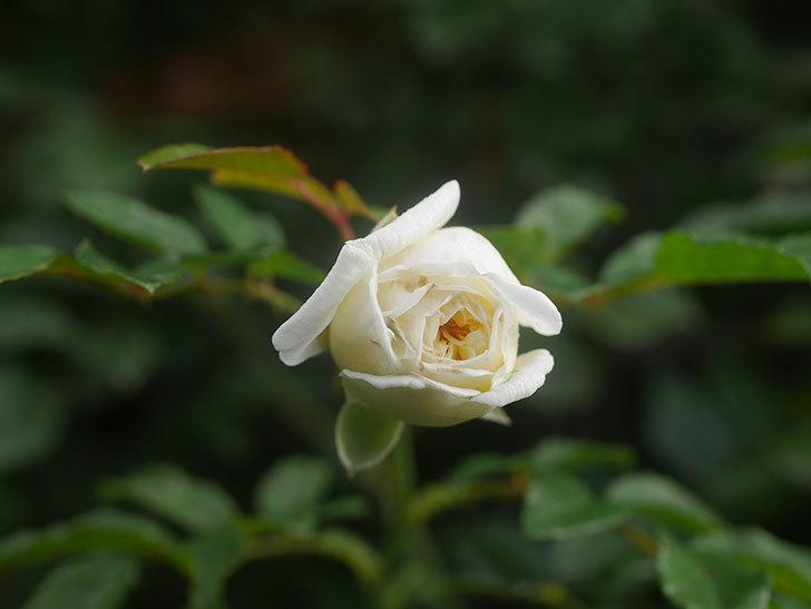 アルベリック・バルビエ(Alberic Barbier)の花が1個咲いていた。ツルバラ。2020年-010.jpg