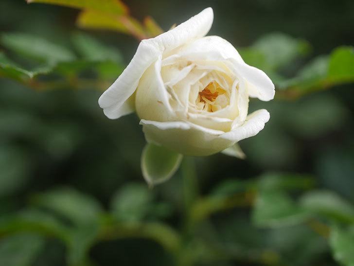 アルベリック・バルビエ(Alberic Barbier)の花が1個咲いていた。ツルバラ。2020年-011.jpg
