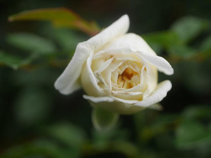 アルベリック・バルビエ(Alberic Barbier)の花が1個咲いていた。ツルバラ。2020年-012.jpg