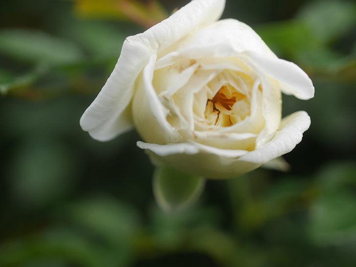 アルベリック・バルビエ(Alberic Barbier)の花が1個咲いていた。ツルバラ。2020年-013.jpg