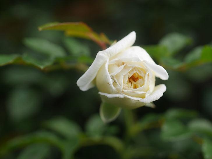 アルベリック・バルビエ(Alberic Barbier)の花が1個咲いていた。ツルバラ。2020年-014.jpg