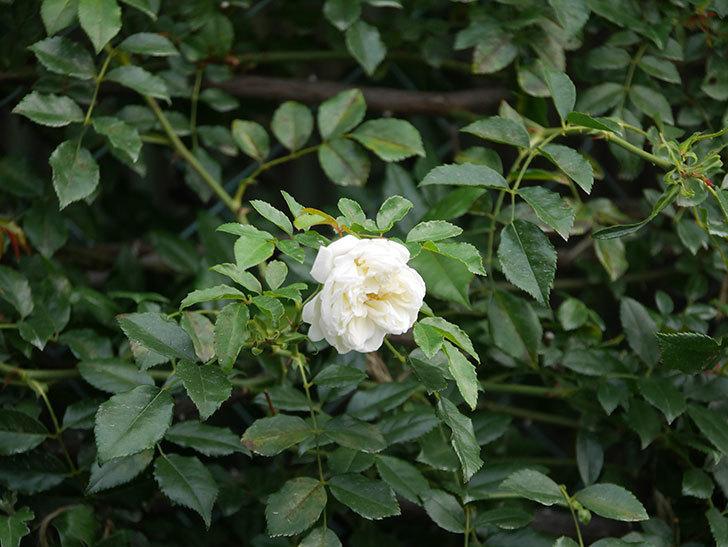 アルベリック・バルビエ(Alberic Barbier)の花が1個咲いていた。ツルバラ。2020年-015.jpg