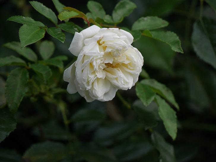 アルベリック・バルビエ(Alberic Barbier)の花が1個咲いていた。ツルバラ。2020年-016.jpg