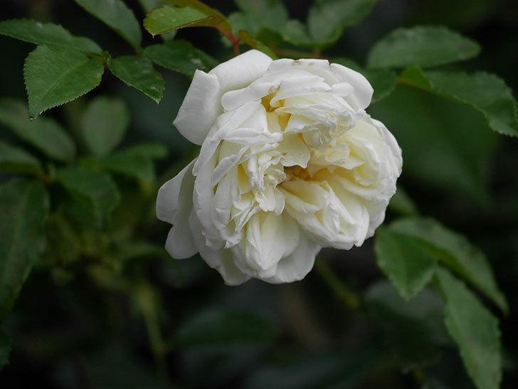 アルベリック・バルビエ(Alberic Barbier)の花が1個咲いていた。ツルバラ。2020年-017.jpg