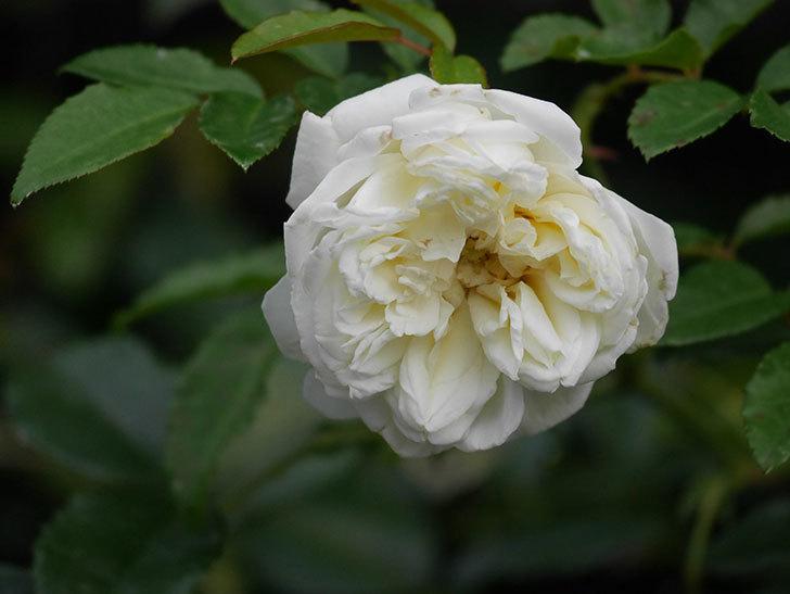 アルベリック・バルビエ(Alberic Barbier)の花が1個咲いていた。ツルバラ。2020年-018.jpg