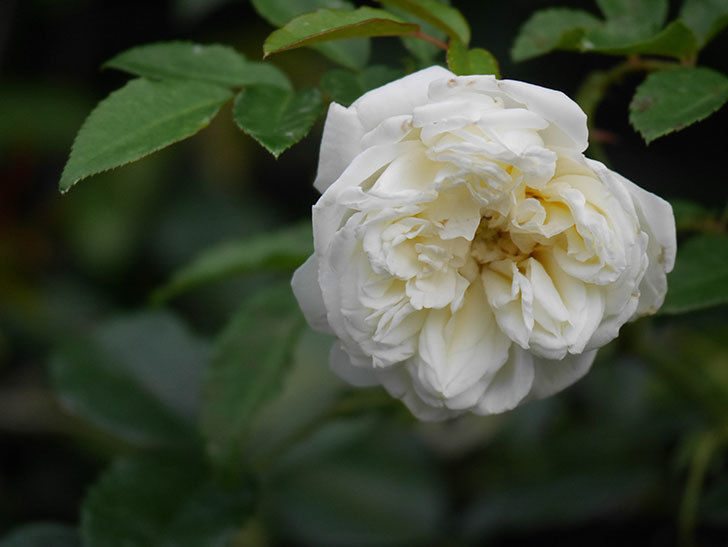 アルベリック・バルビエ(Alberic Barbier)の花が1個咲いていた。ツルバラ。2020年-019.jpg
