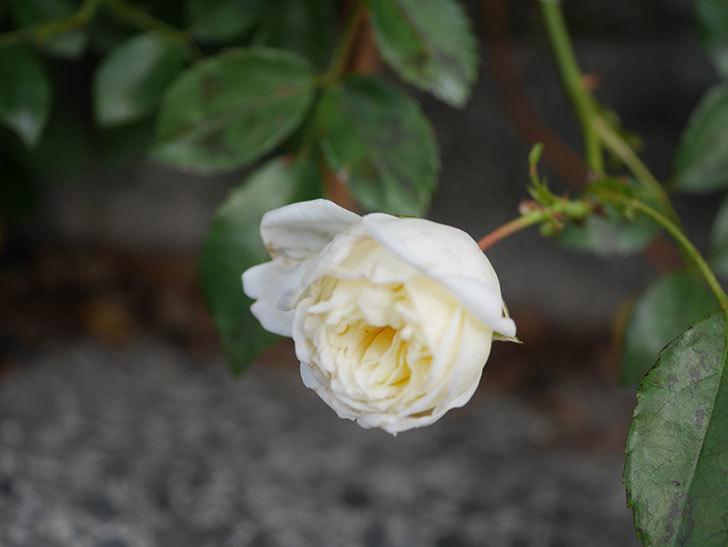 アルベリック・バルビエ(Alberic Barbier)の花がまた1個咲いていた。ツルバラ。2020年-001.jpg