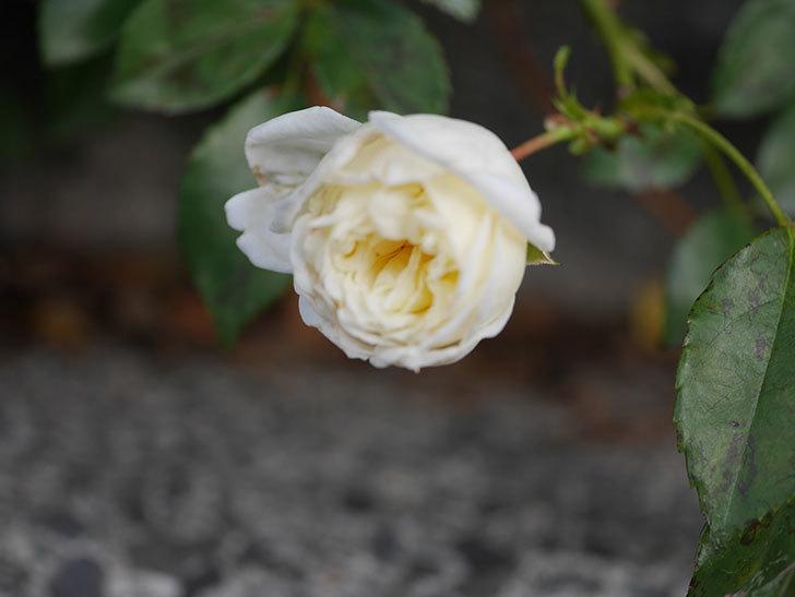 アルベリック・バルビエ(Alberic Barbier)の花がまた1個咲いていた。ツルバラ。2020年-002.jpg
