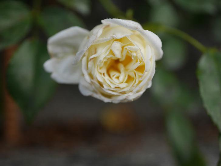 アルベリック・バルビエ(Alberic Barbier)の花がまた1個咲いていた。ツルバラ。2020年-003.jpg