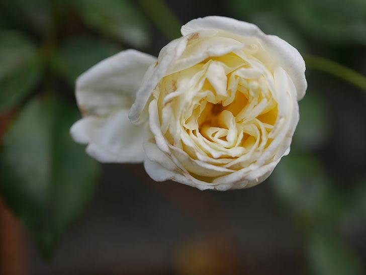 アルベリック・バルビエ(Alberic Barbier)の花がまた1個咲いていた。ツルバラ。2020年-004.jpg