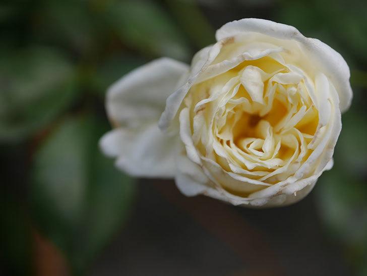 アルベリック・バルビエ(Alberic Barbier)の花がまた1個咲いていた。ツルバラ。2020年-005.jpg