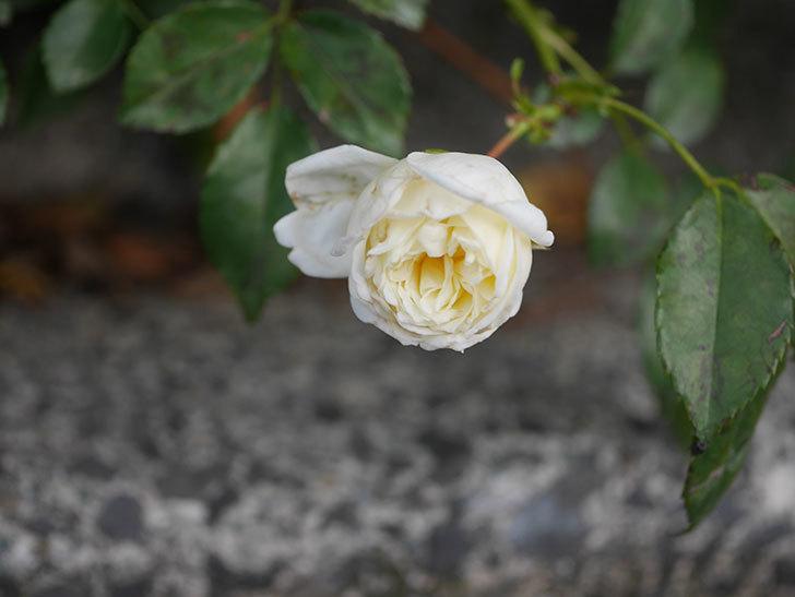 アルベリック・バルビエ(Alberic Barbier)の花がまた1個咲いていた。ツルバラ。2020年-006.jpg