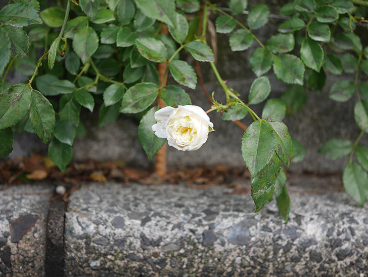アルベリック・バルビエ(Alberic Barbier)の花がまた1個咲いていた。ツルバラ。2020年-007.jpg