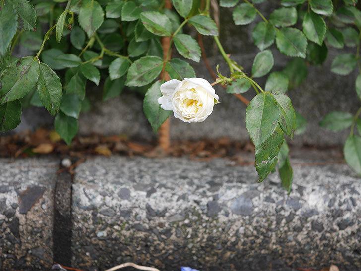アルベリック・バルビエ(Alberic Barbier)の花がまた1個咲いていた。ツルバラ。2020年-008.jpg