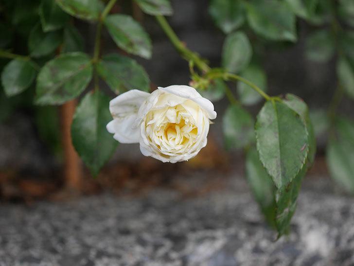 アルベリック・バルビエ(Alberic Barbier)の花がまた1個咲いていた。ツルバラ。2020年-009.jpg