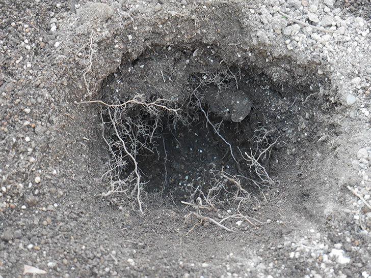 アルベリック・バルビエ(ツルバラ)2株に寒肥を施した。ツルバラ。2021年-005.jpg