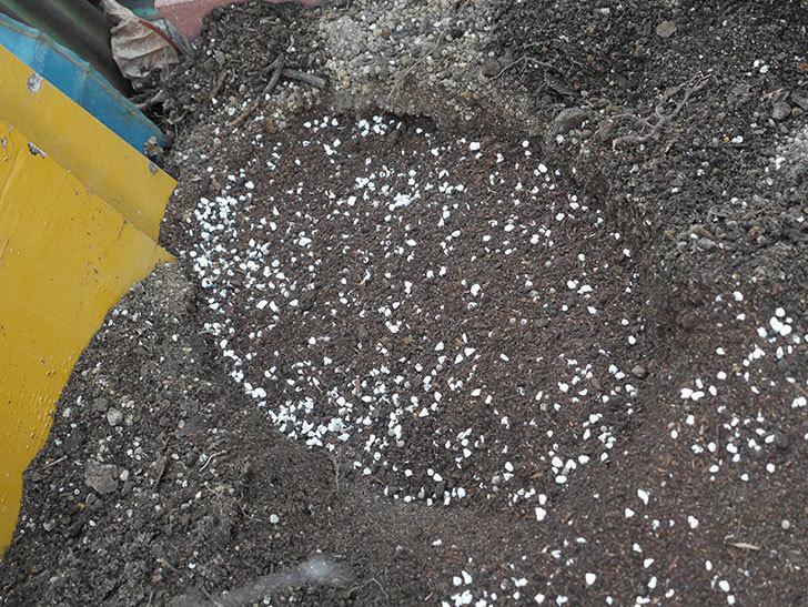 アルベリック・バルビエ(ツルバラ)2株に寒肥を施した。ツルバラ。2021年-009.jpg