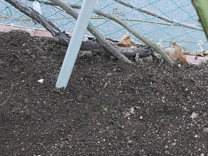アルベリック・バルビエ(ツルバラ)2株に寒肥を施した。ツルバラ。2021年-016.jpg
