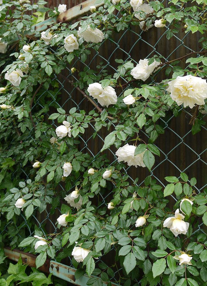 アルベリック・バルビエ(ツルバラ)がたくさん咲いた。2016年-11.jpg