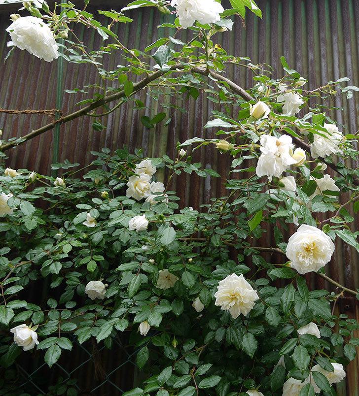 アルベリック・バルビエ(ツルバラ)がたくさん咲いた。2016年-5.jpg
