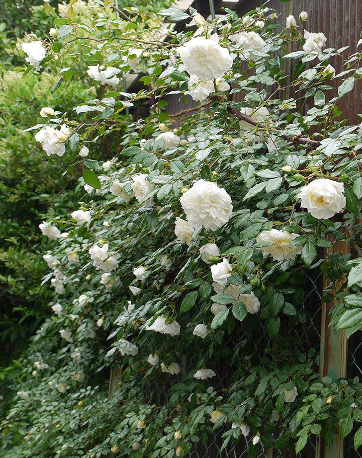 アルベリック・バルビエ(ツルバラ)がたくさん咲いた。2016年-7.jpg
