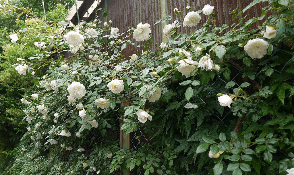 アルベリック・バルビエ(ツルバラ)がたくさん咲いた。2016年-8.jpg