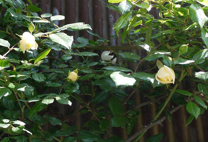 アルベリック・バルビエ(ツルバラ)がぽつぽつと咲き始めた。2016年-1.jpg