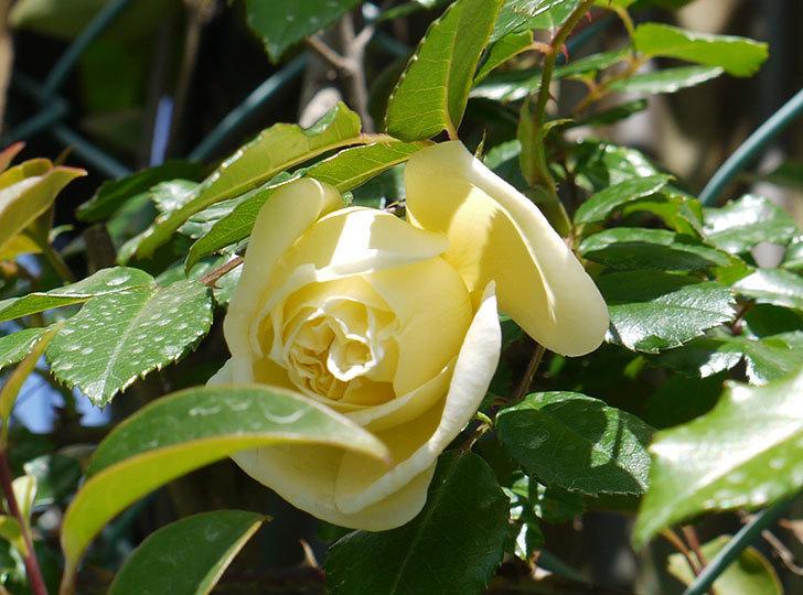 アルベリック・バルビエ(ツルバラ)がぽつぽつと咲き始めた。2016年-10.jpg