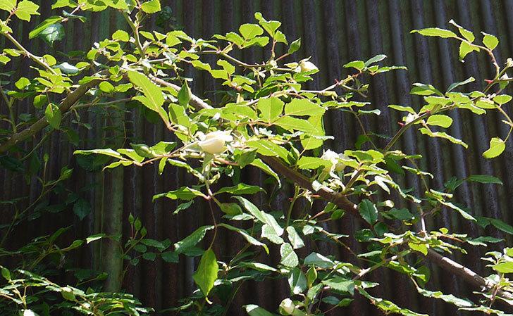 アルベリック・バルビエ(ツルバラ)がぽつぽつと咲き始めた。2016年-3.jpg
