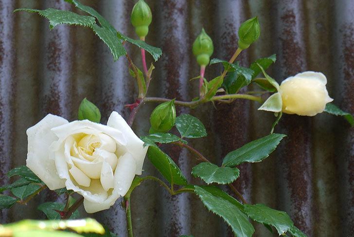 アルベリック・バルビエ(ツルバラ)がぽつぽつと咲き始めた。2016年-4.jpg