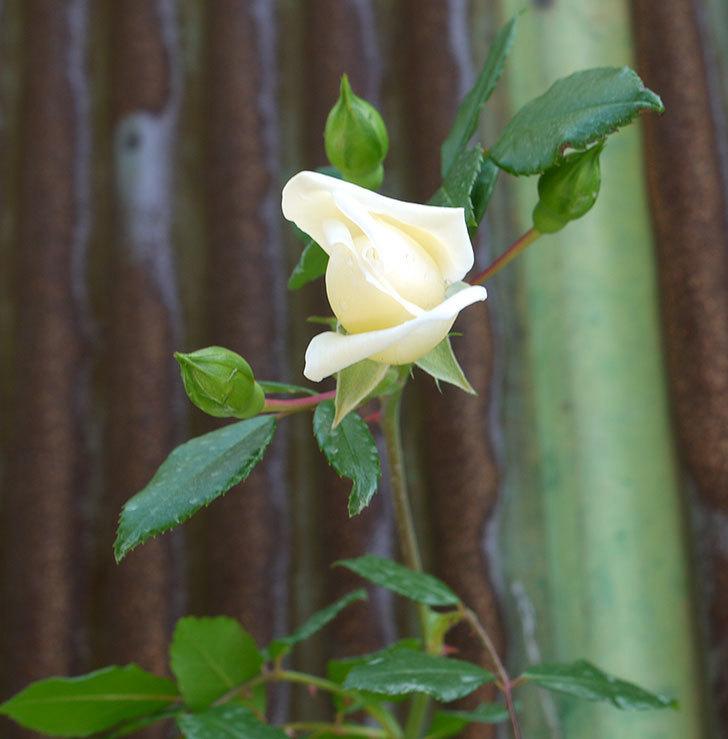 アルベリック・バルビエ(ツルバラ)がぽつぽつと咲き始めた。2016年-5.jpg