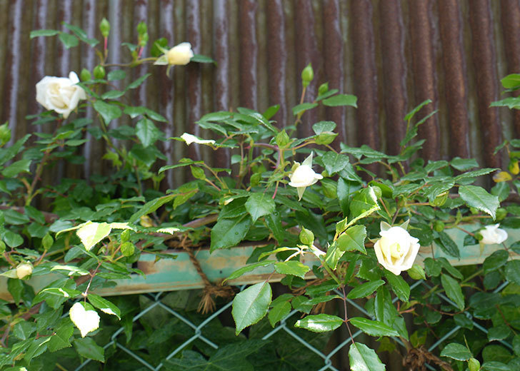 アルベリック・バルビエ(ツルバラ)がぽつぽつと咲き始めた。2016年-7.jpg