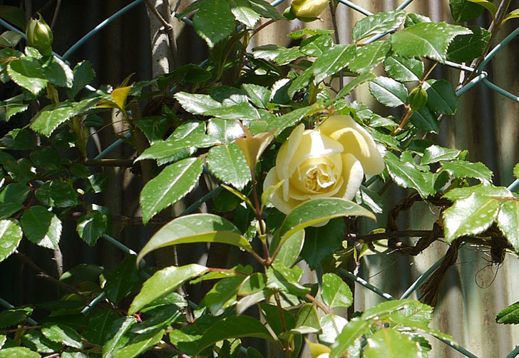 アルベリック・バルビエ(ツルバラ)がぽつぽつと咲き始めた。2016年-8.jpg
