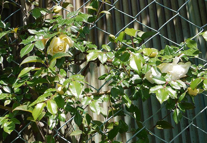 アルベリック・バルビエ(ツルバラ)がぽつぽつと咲き始めた。2016年-9.jpg
