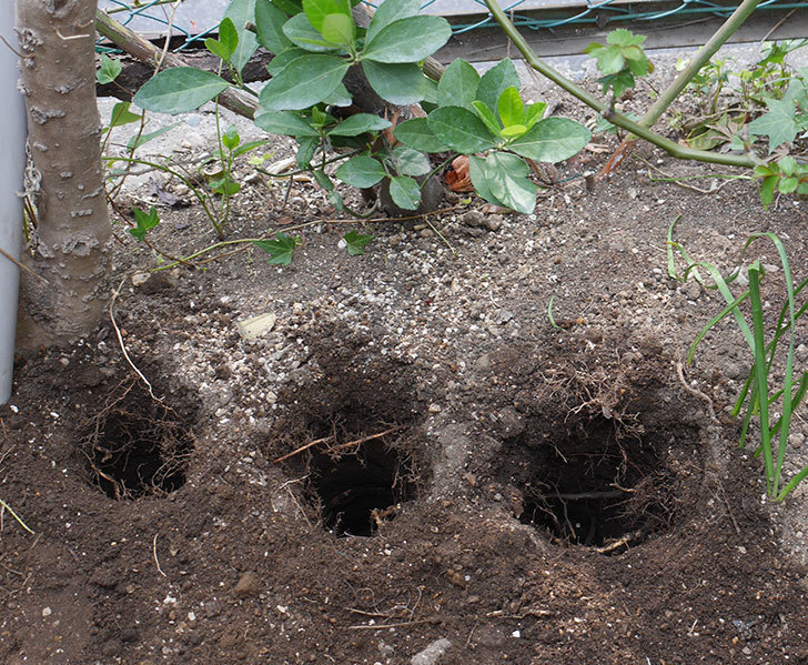アルベリック・バルビエ(ツルバラ)に寒肥を施した。2019年-1.jpg